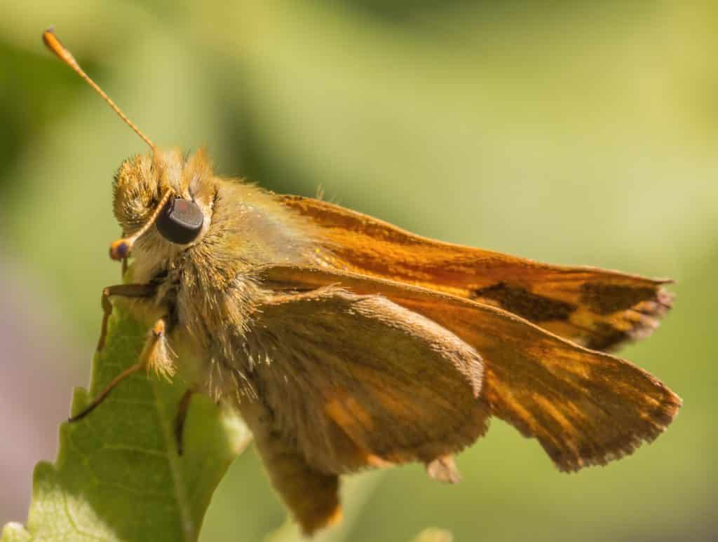 Moth Close-up