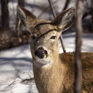 White Tale Deer