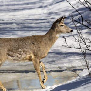 Whole Deer