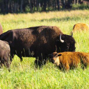 Orange Buffalo Baby