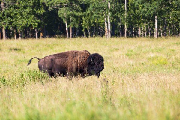 Buffalo poster 1