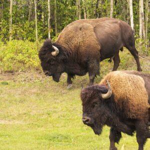Buffalo Race
