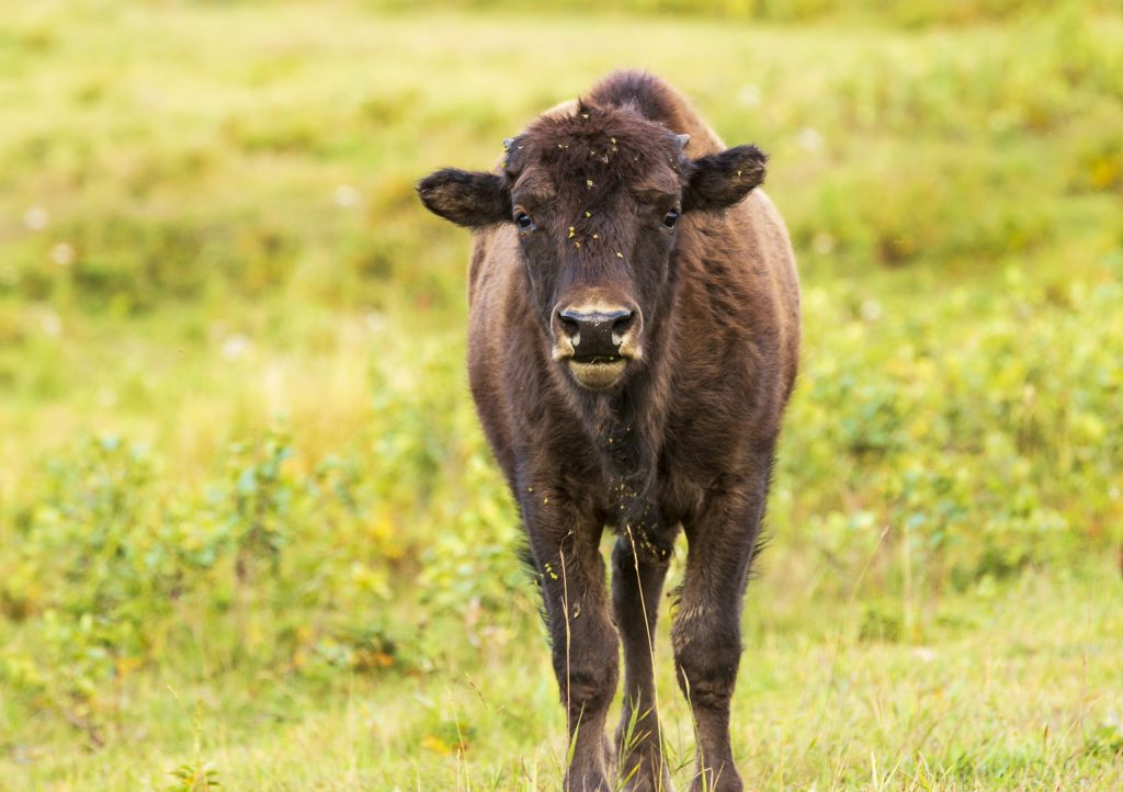 Buffalo baby