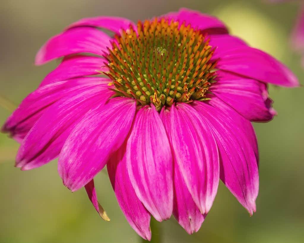 Cone Flower 2