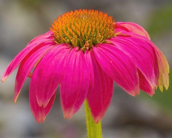 Cone Flower 3