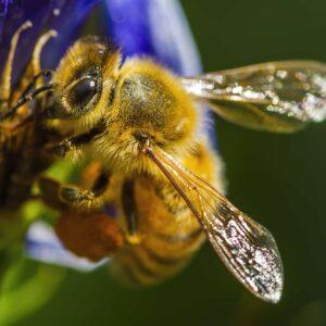 Bee Eye Close-up