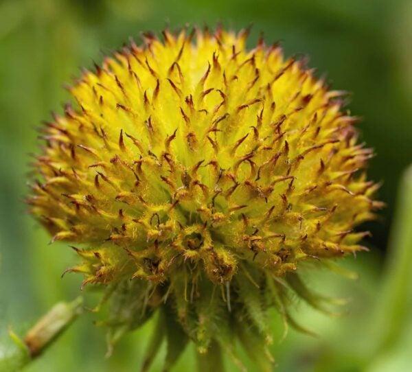 Yellow Ball Flower 3