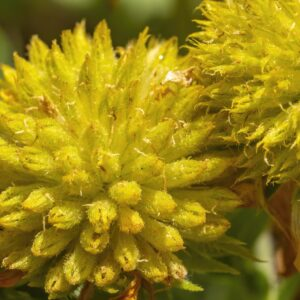 Yellow Ball Flower 2