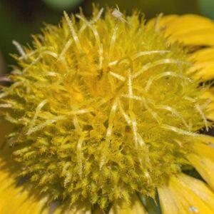 Yellow Ball Flower 1