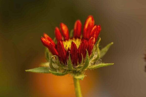 Marigold Close-up
