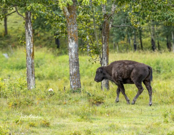 Young Bison - With Trees