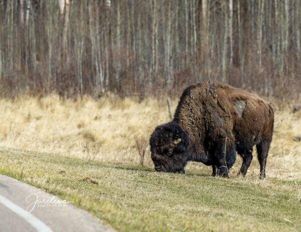 Male Bison - Grazing