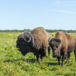 Adult Bisons - Male Call
