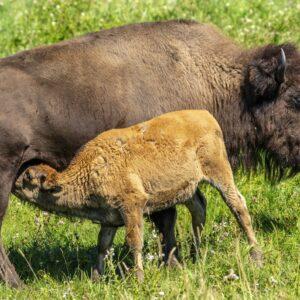 Baby Bison - Feeding