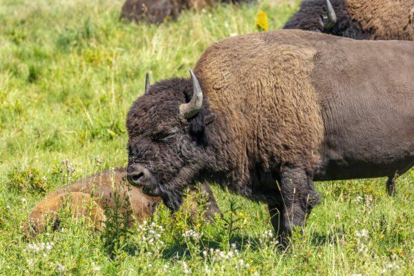 Adult Bison - Shoulders