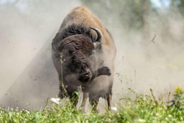 Adult Bison - Dust Cloud