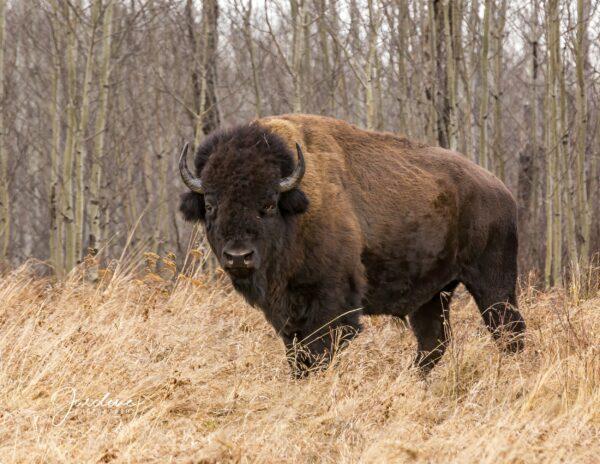 Adult Bison - Angled Pose