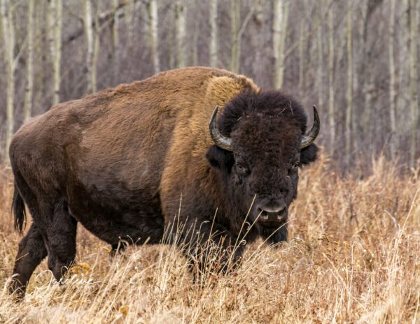 Adult Bison - Right Autumn Pose
