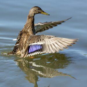 Mallard Duck Stretching