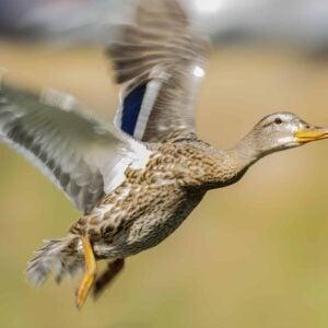 Mallard Flying
