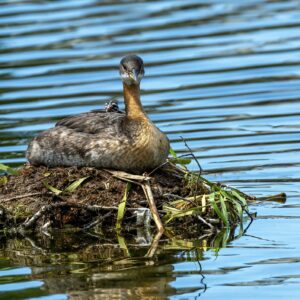 Red Necked Grebe Mother