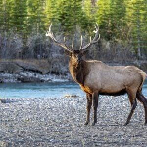Bull Elk By River