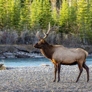 Bull Elk Side Pose