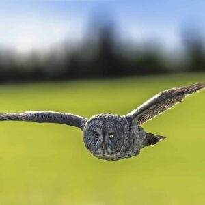Great Gray flying