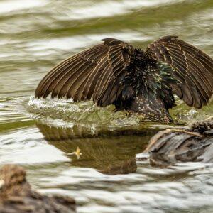 European Starling Stretching