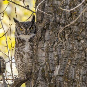Great Horned Peeking