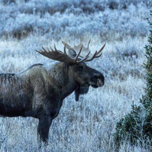 Bull Moose Standing